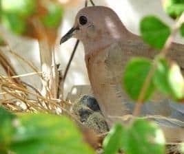 Un esemplare di colombo
