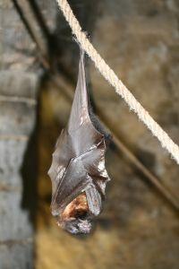 Pipistrelli - Allontanare Pipistrello - Pipistrello in Casa