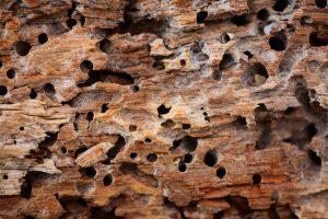 Danni termiti del legno
