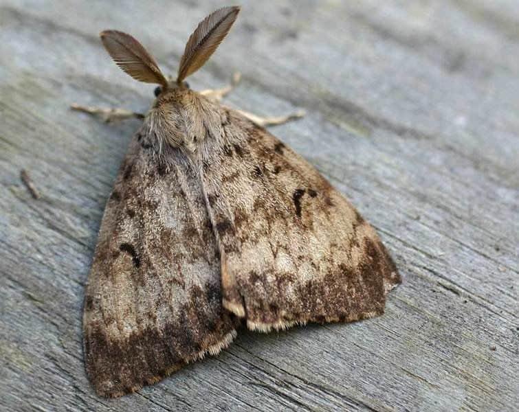 Disinfestazione Falene - Falena - Lepidotteri