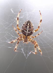 ragno crociato