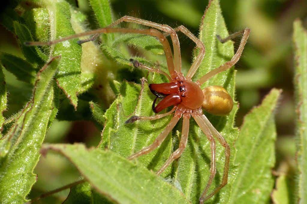 ragno dal sacco giallo