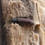 Termiti del legno umido