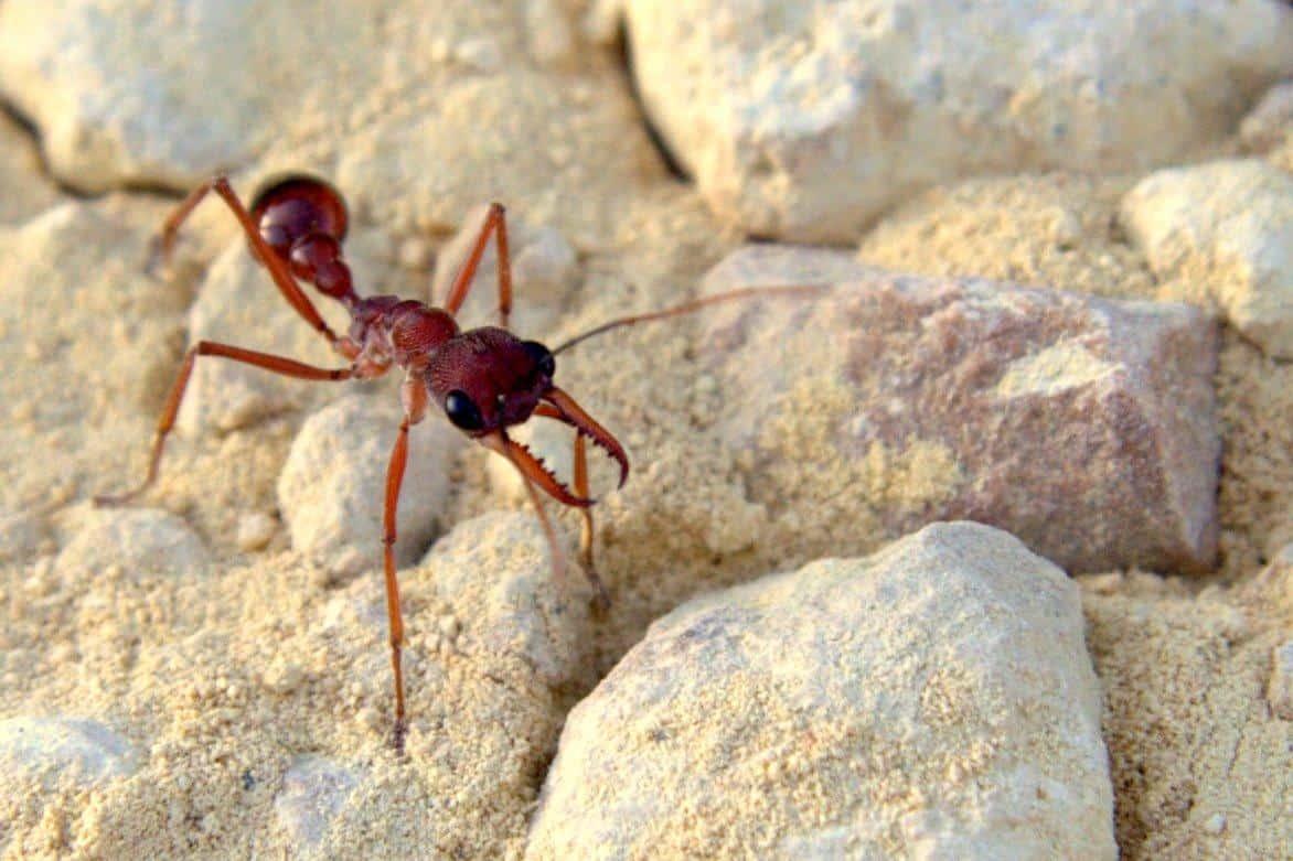Formica Bulldog - Disinfestazione Formiche