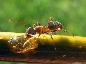 Piccola formica Lasius Niger