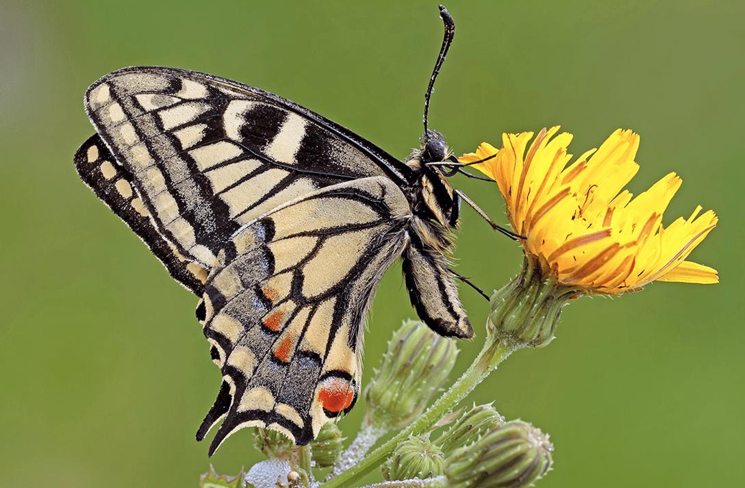 Lepidotteri - Lepidotteri Dannosi