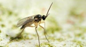 Un adulto di moscerini dei funghi.