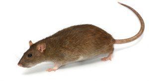 ratto norvegese