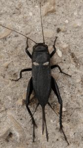 gryllus bimaculatus