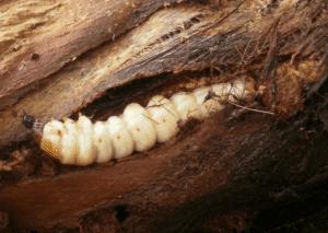 larve de paysandisia archon