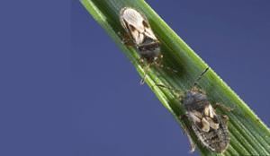 Due piccoli blissidae su una foglia.