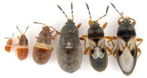 Vari esemplari di Blissidae.