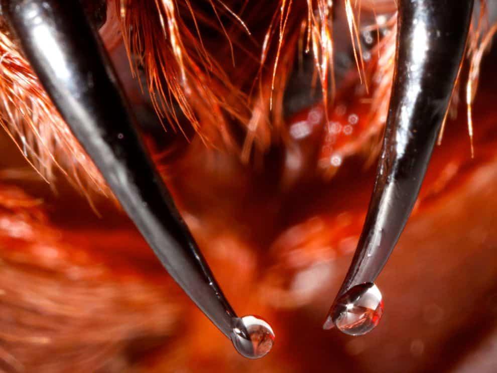 Immagine ravvicinata di cheliceri di ragno.