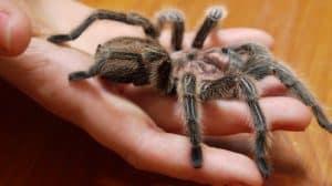 La pericolosità della puntura di ragno.
