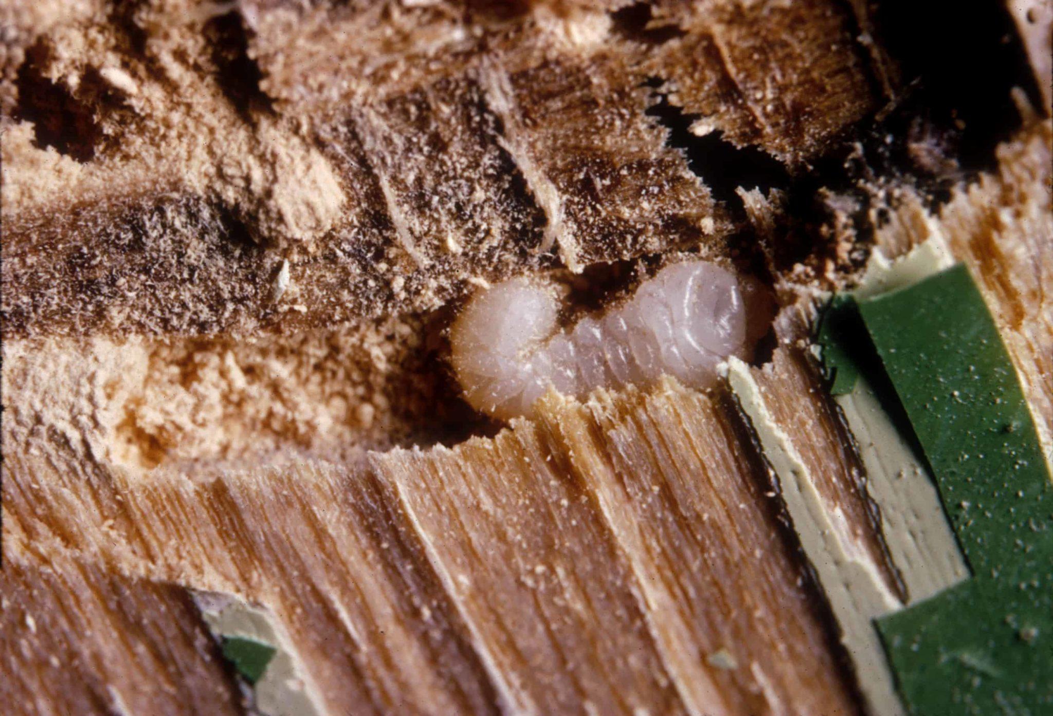 Piccola larva bianca di tarlo del legno
