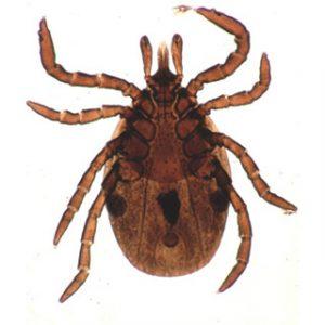 Immagine di un esemplare adulto di zecca dura.